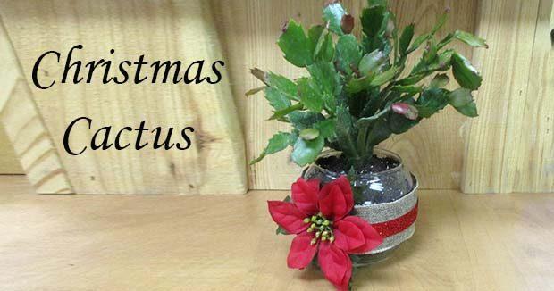 Make Take Christmas Cactus Jacobs Trading Rock Crystal Shop